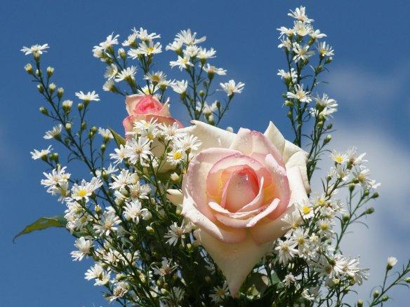 Angelpink rose